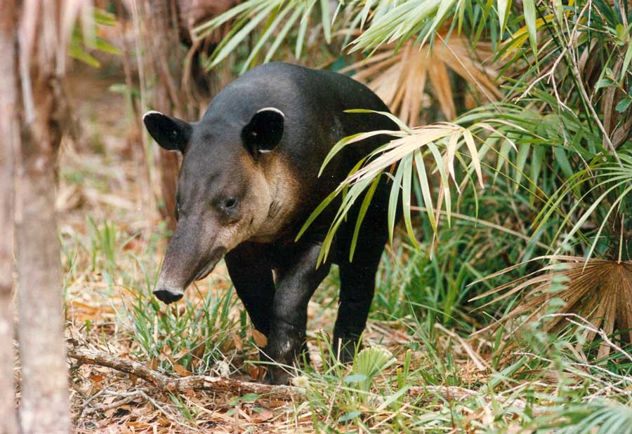 belize_national_animal_tapir_belize_zoo_travel_guide