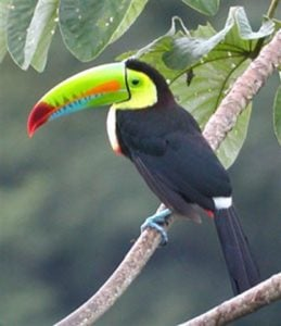 Keel-billed toucan in Belize