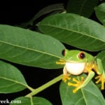 Belize Photo of the Day: Red-eyed Tree Frog