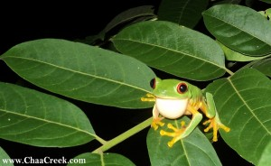 Red-eyed tree frog at Chaa Creek, Belize