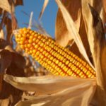 maya-corn-maize