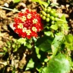 Belize Photo of the Day: The Lantana