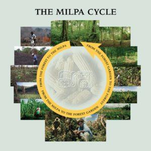 el pilar maya milpa cycle