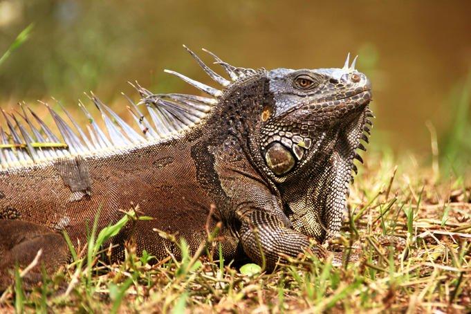 Iguana-belize
