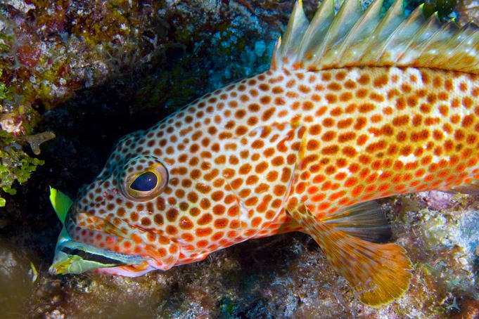 reef fish belize