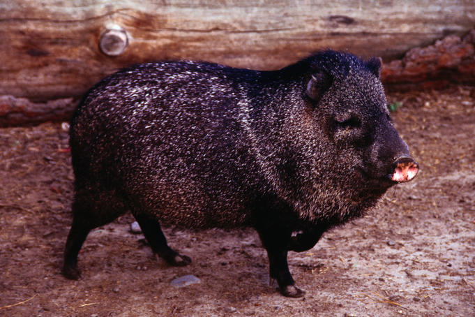 wild pig belize