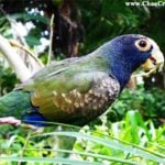Belize Photo of the Day: The White-crowned Parrot