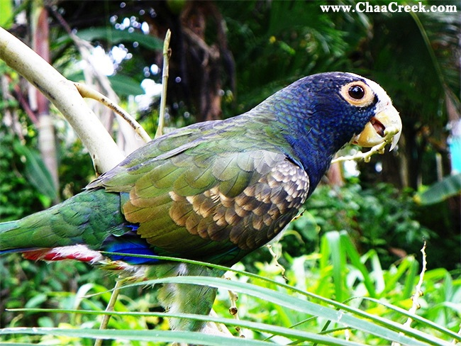belize wildlife: white crowned parrot
