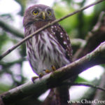 The Ferruginous Pygmy-Owl – The Diurnal Hunter