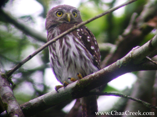Belize Photo of the Day: The Ferruginous Pygmy-Owl