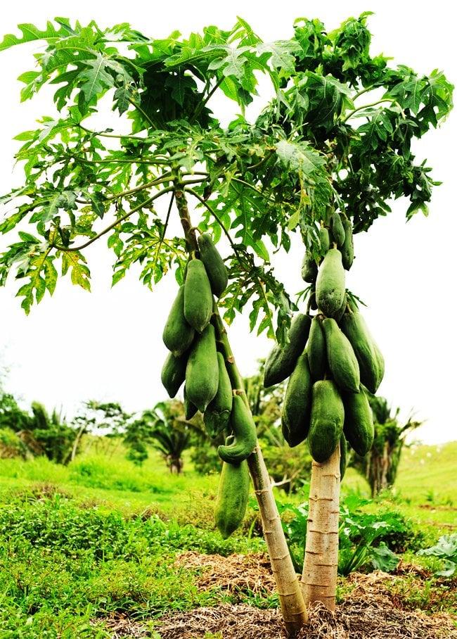 Belize Organic maya papaya
