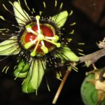 Belize Photo of the Day: The Passion Flower