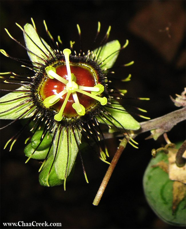 passion flowers in Belize