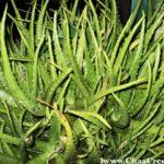 Aloe Vera- The Medicinal Plant