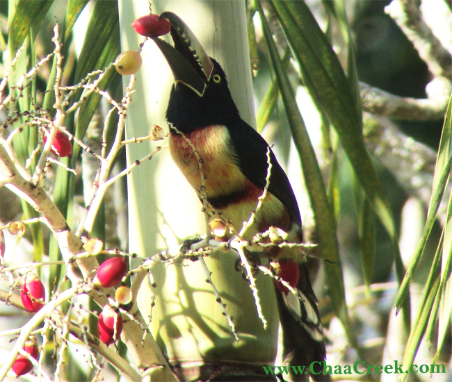 The Social Toucanet Spotted at Chaa Creek