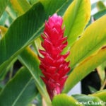 The Ornamental Red Ginger