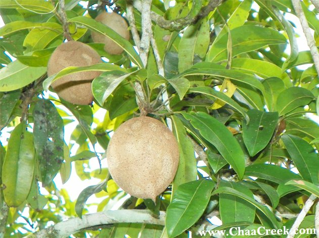 The Sapodilla Fruit