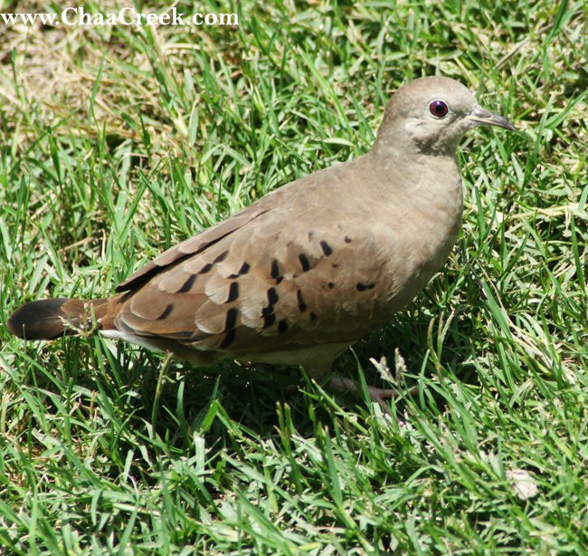 The Ruddy Ground Dove