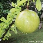 The Calabash Fruit