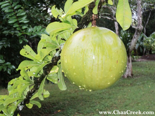 Belize Photo: The Calabash Fruit