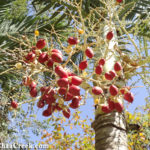 Belize's Tropical Christmas Palm- A Summer Bloomer