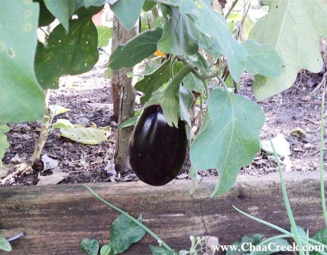 The Nightshade Eggplant