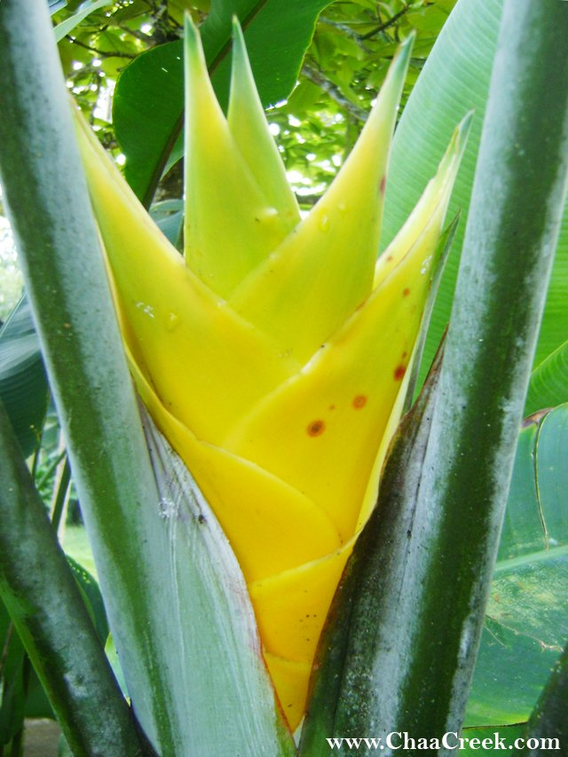 Belize Photo: Yellow Heliconia Caribaea