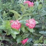 Ixora Coccinea- Belize's Famous Blossoming Shrub