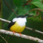 The White-Collared Manakin- An Amazing Dancing Bird