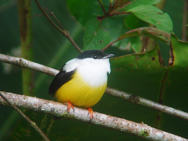 Belize Photo: White Collared Manakin
