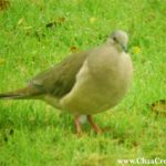 The White-Tipped Dove of Belize