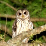 The Mottled Owl of Belize