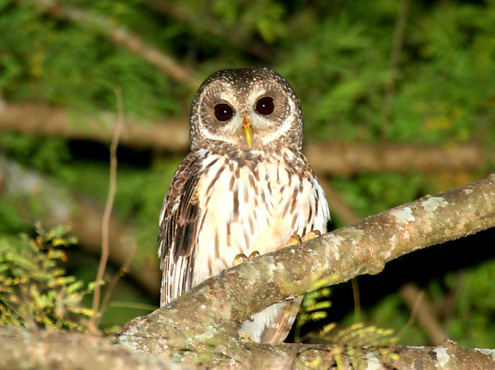 mottled owl in belize