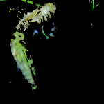 The Cicada – A Symbol of Rebirth