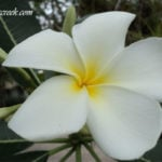 The Plumeria – one of Mother Nature's most sublime aphrodisiacs