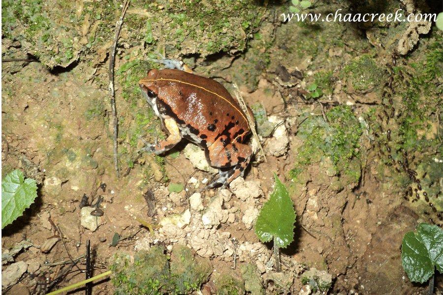 sheep frog