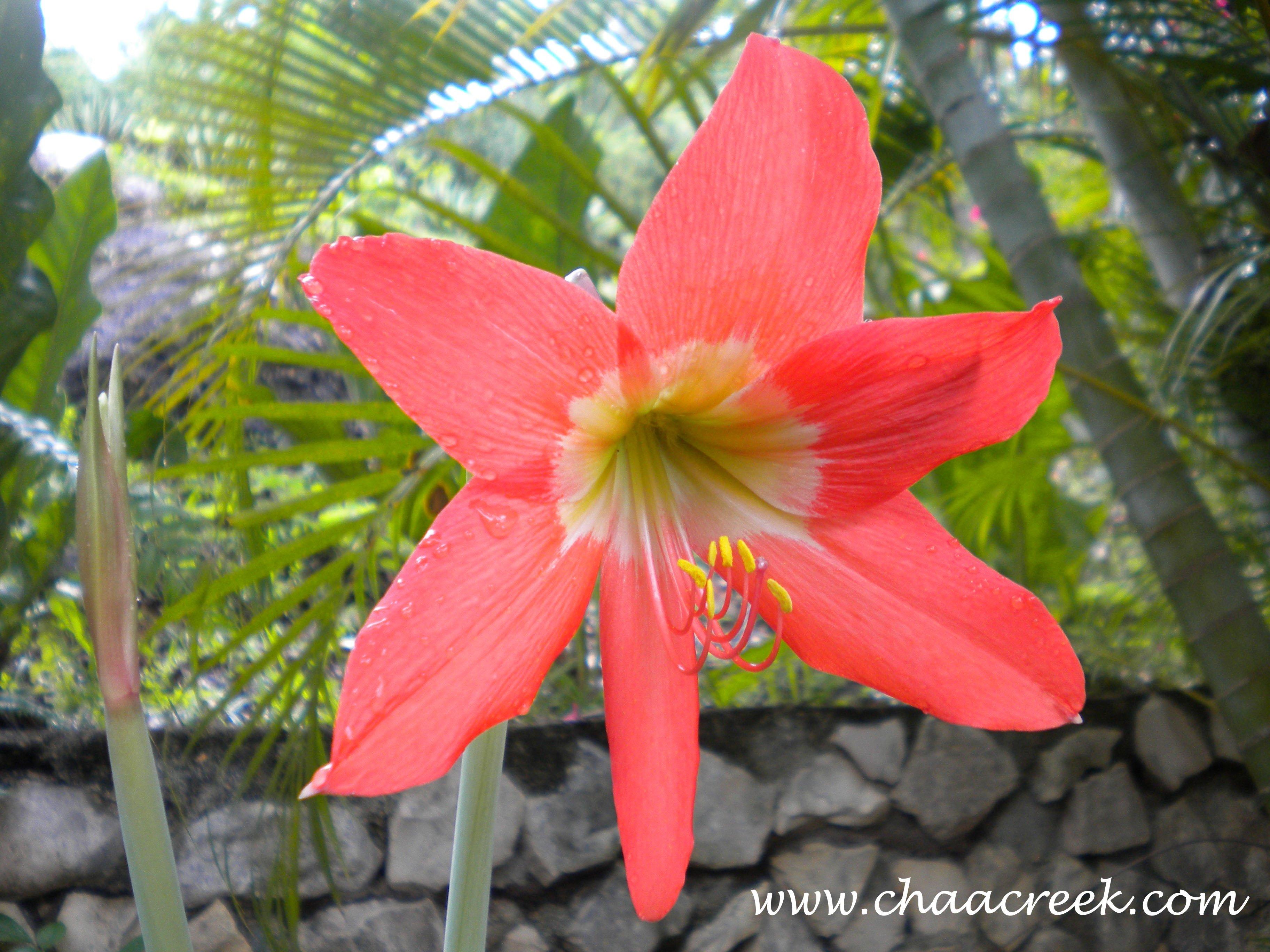 Amaryllis,Barbados lily