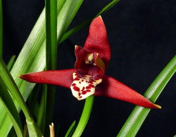 Maxillaria Tenuifolia - The Coconut Orchid!