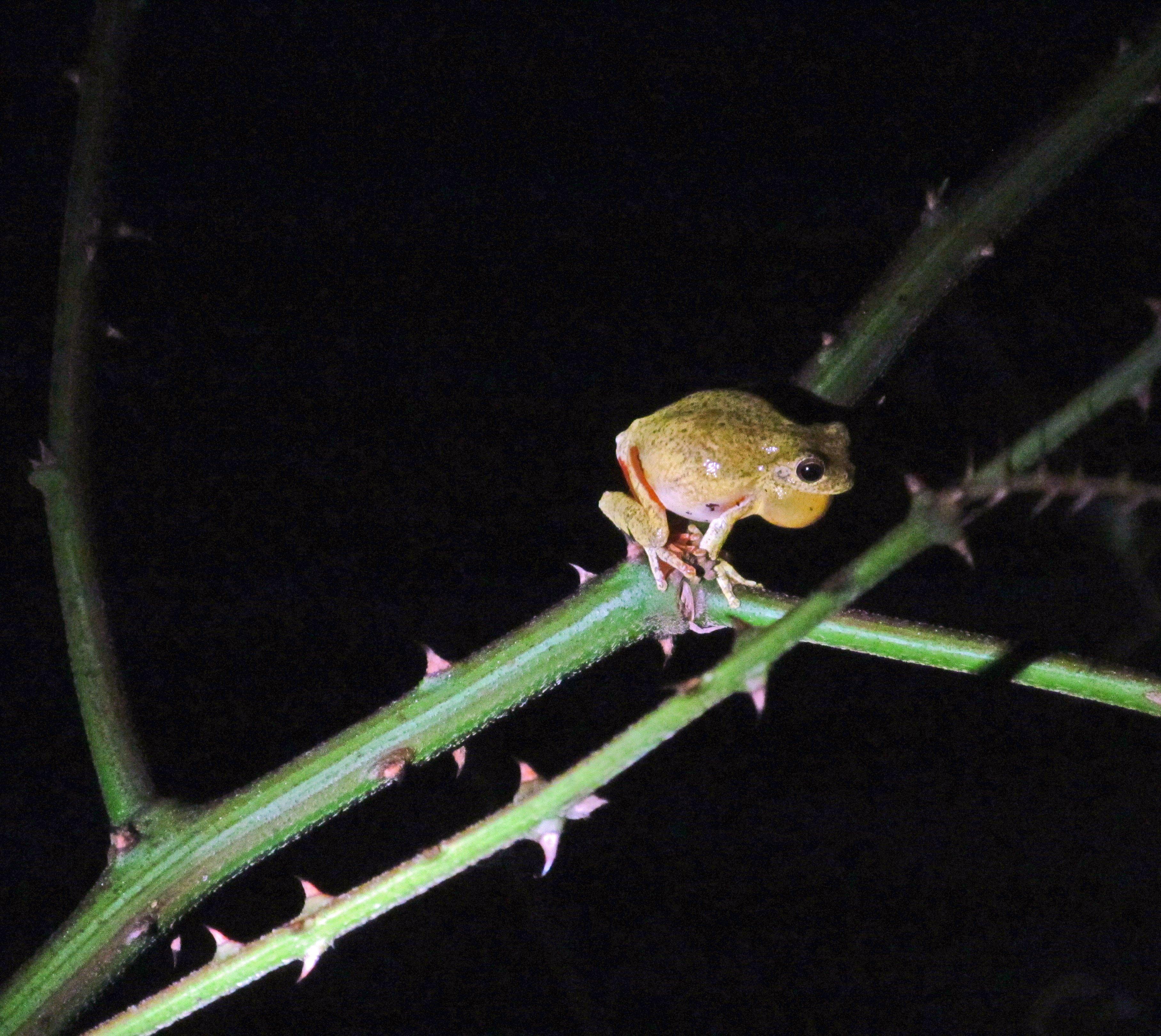 Frogs in Belize