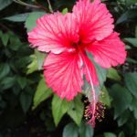 Four Surprising Healing Secrets of the Hibiscus You Should Know
