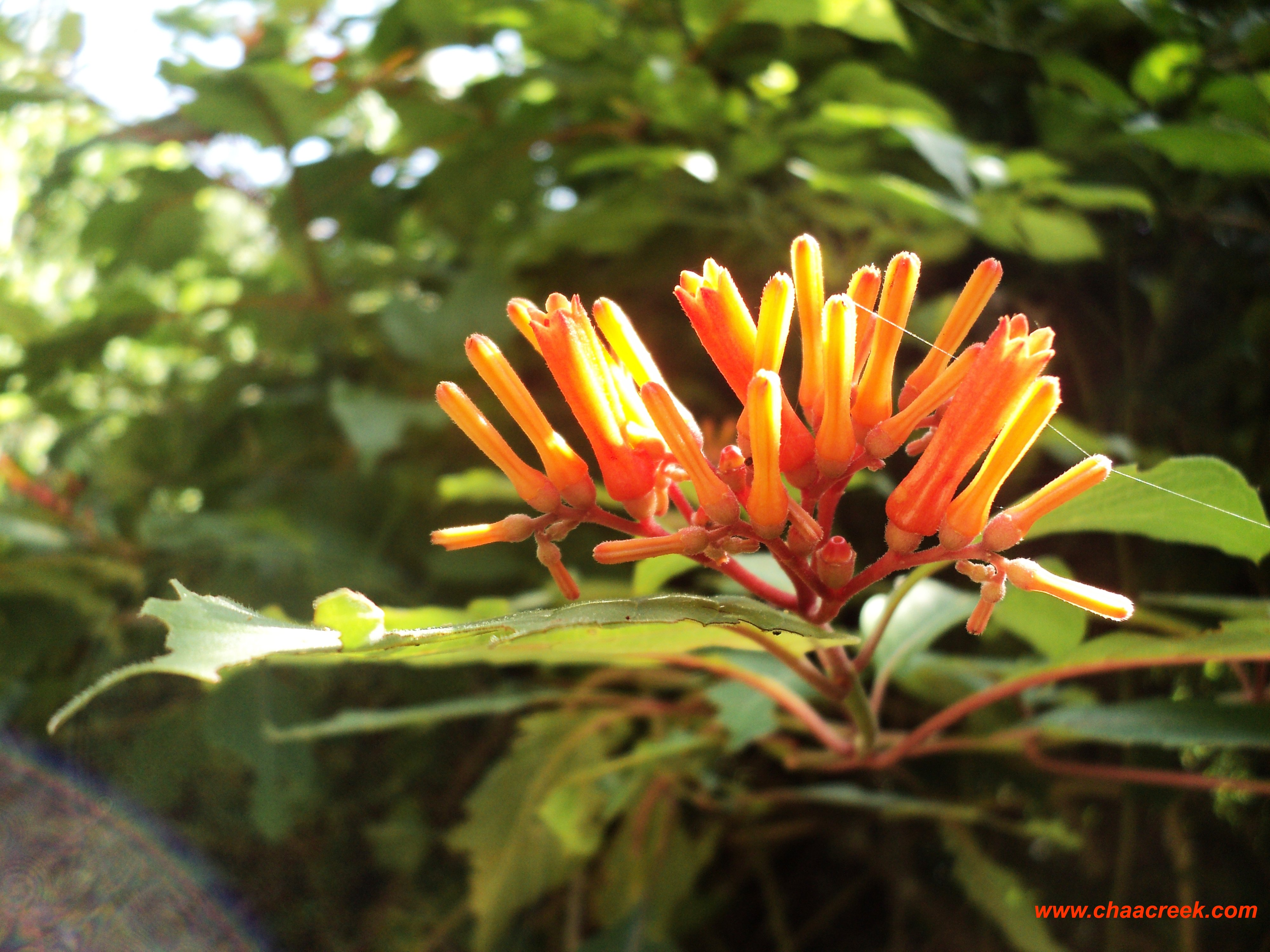 plantsofbelize