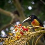 Birding in Belize is Becoming a Fast Growing Trend