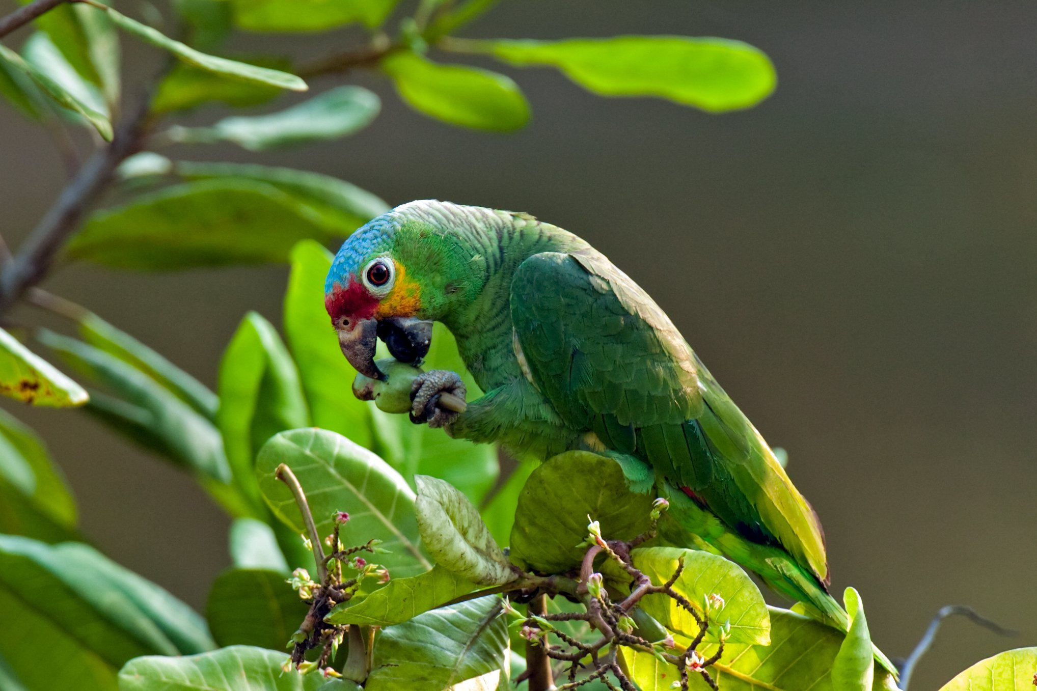 Red lored parrot, Belize