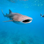Belize Whale Shark Diving Vacation Package 2015!