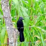 Why is the Groove-Billed Ani an Elusive Belize Bird