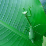7 Cool Facts about the Praying Mantis
