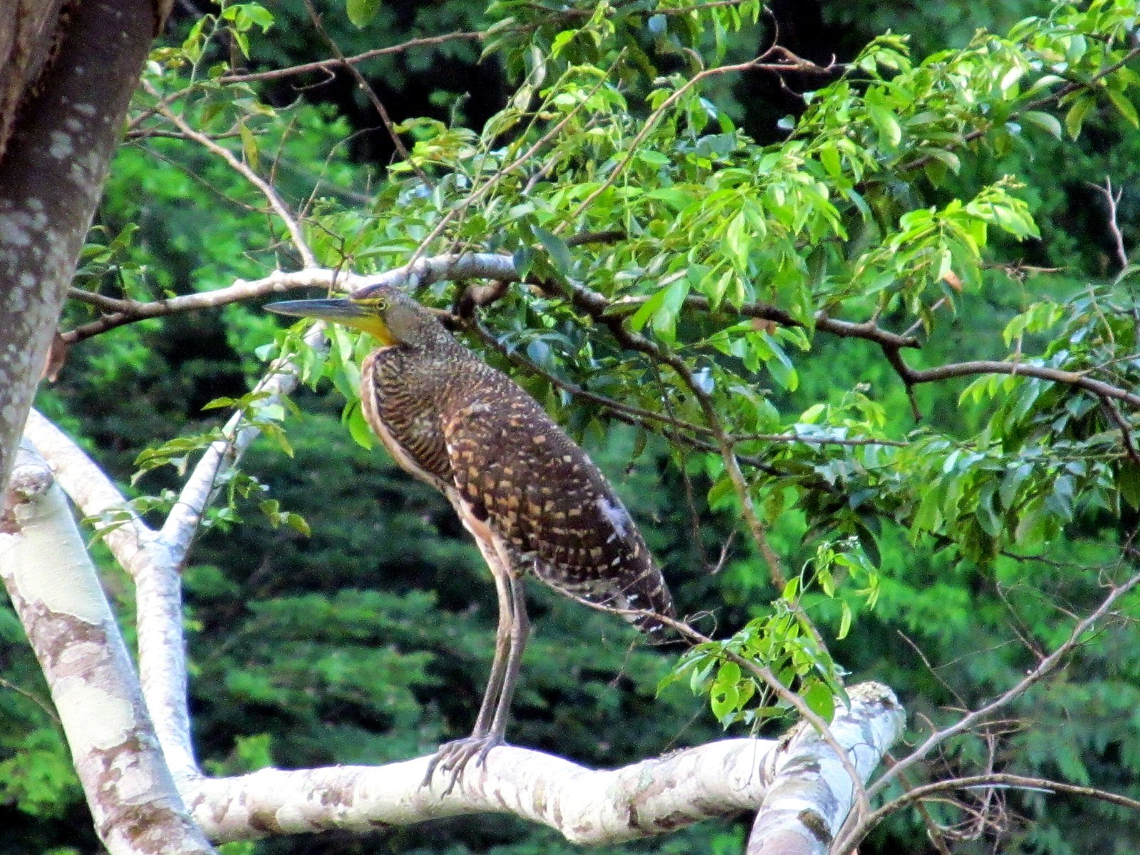 Birding in Belize with the bare throated Tiger-Heron