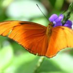 The Orange Julia Butterfly