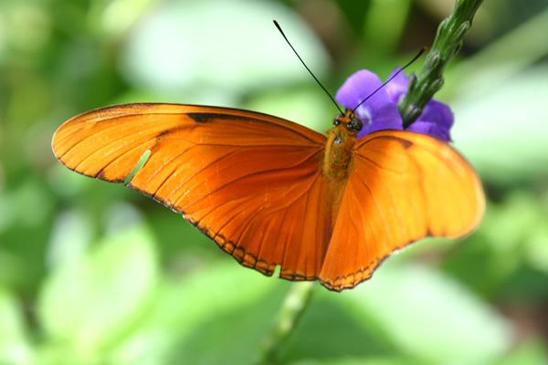 orange_julia_butterfly