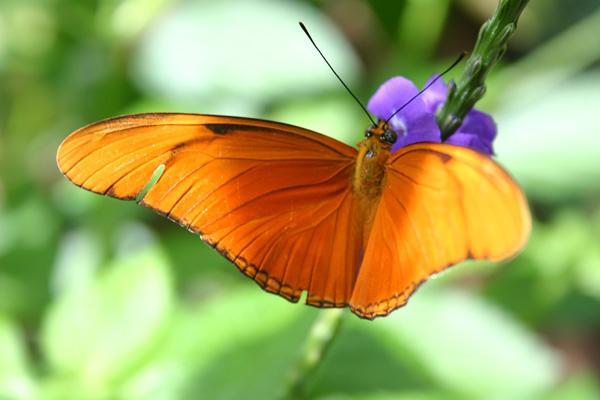 orange_julia_butterfly